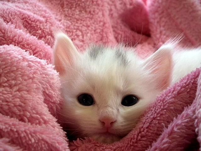 Tips for Adopting a Kitten
